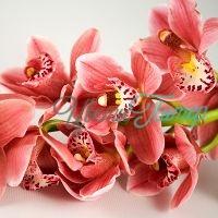 Розовая Орхидея Цимбидиум