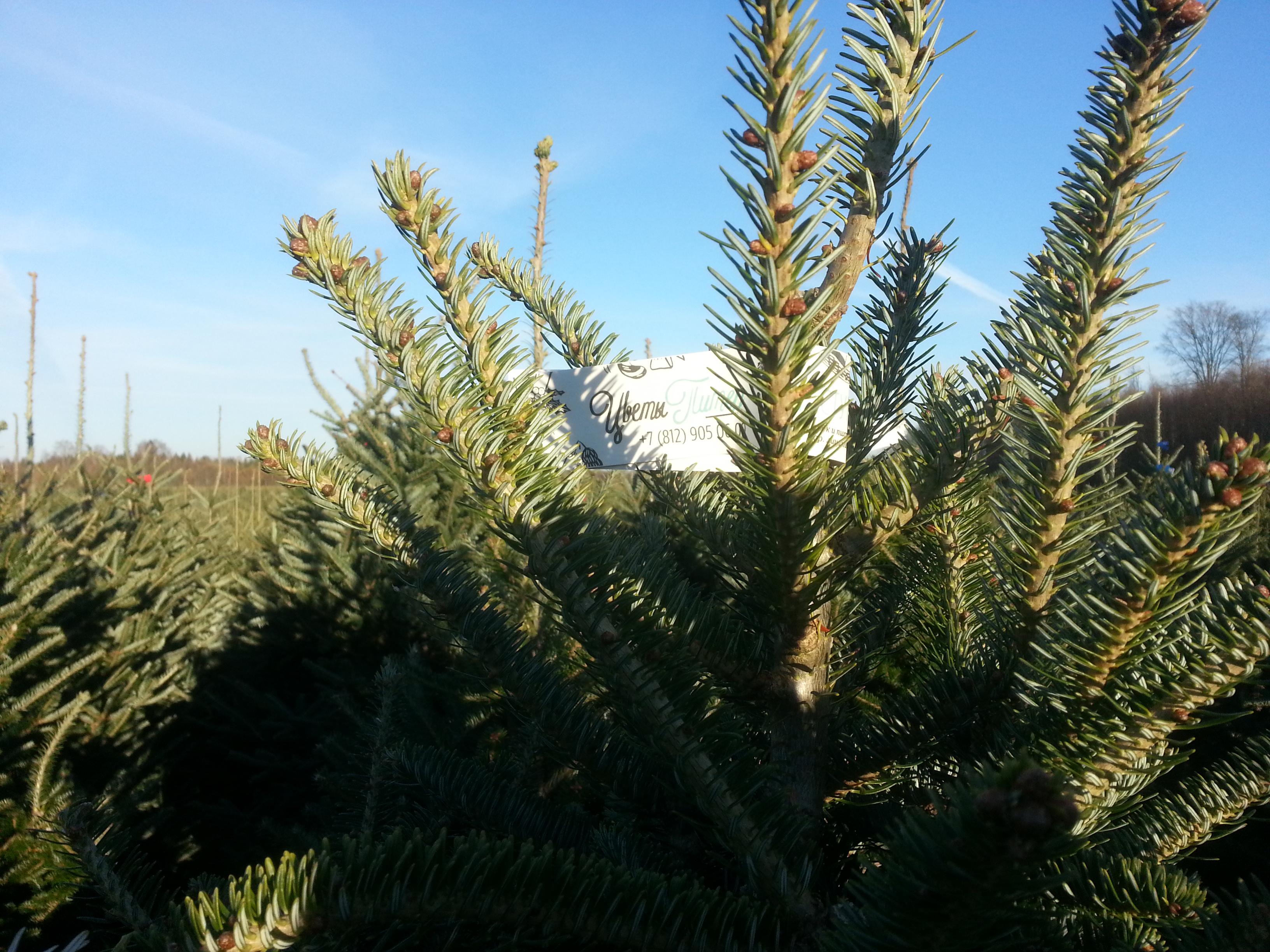 купить живую елку