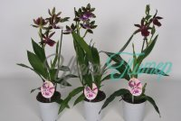Zygopetalum mix  1 branch 4+ blad