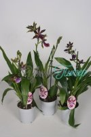 Zygopetalum mix  1 branch 5+ flwrs