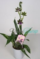 Zygopetalum Sensation  1 branch
