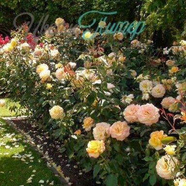 Роза глория дей-купить