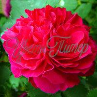 Где купить саженцы канадские розы оптом доставка цветов в муроме