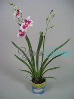 Miltoniopsis Harvey Flor with collar 2 branches