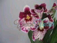 Miltoniopsis Maui Splash with collar 2 branches