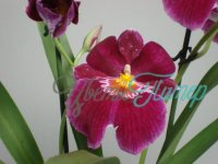 Miltoniopsis Red Tide with collar 2 branches