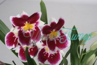 Miltoniopsis Russian bay with collar 2 branches