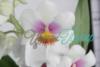 Miltoniopsis White Summer Tania with collar 2 branches
