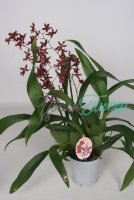 Oncidium Sherry Baby  2 branches
