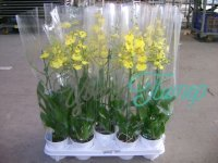 Oncidium Sweet Sugar  2 branches branched