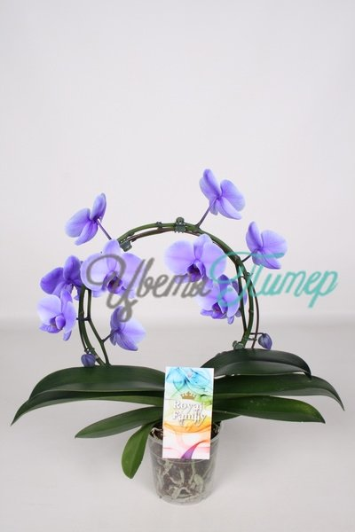 Phalaenopsis Royal Purple bow 2 branches (paars)