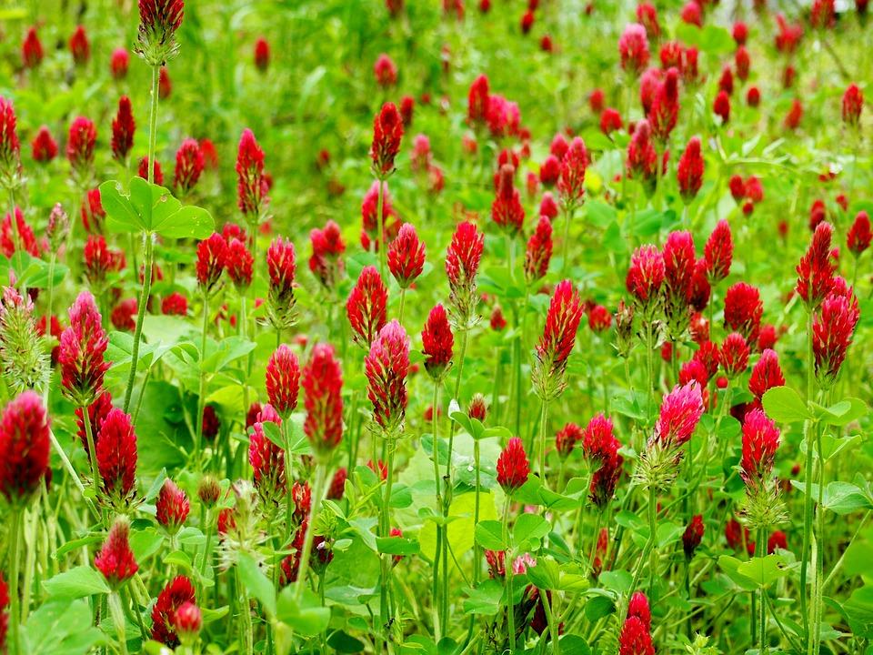 Клевер красный – неприхотливая газонная трава