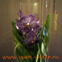 Vanda bigflowers mix 1,5 branch hanging