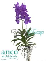 Vanda Blue Magic blue 1 branch hanging