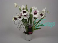 Miltonia Lunar Shower white 2 branches