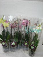 Phalaenopsis 2-tak Finest Selection mix 14+ flowers
