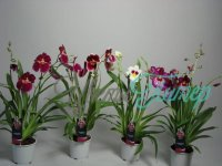 Miltoniopsis 2 Tak Mix with collar