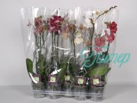 Phalaenopsis 2-tak Finest Selection Special Mix 14+ flowers