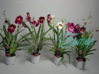 Miltoniopsis 4 Tak Mix with collar