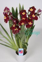 Miltoniopsis Claret Punch red 3-4 flowers