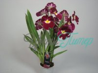 Miltoniopsis Claret Punch with collar 2 branches