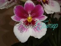 Miltoniopsis Diana with collar 2 branches