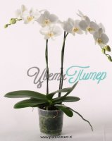 Phalaenopsis 2-tak wit Big Flower