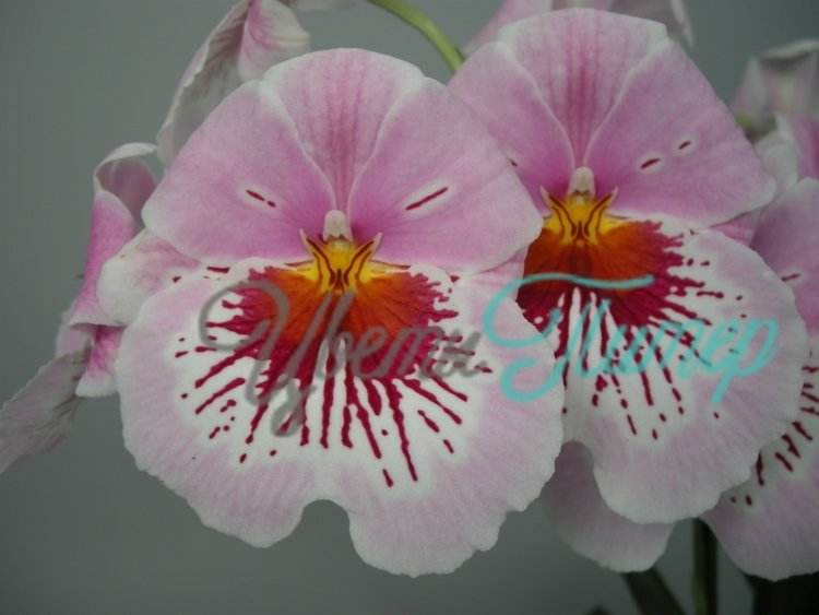 Miltoniopsis Eternity with collar 2 branches