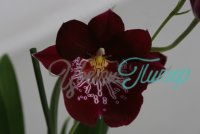 Miltoniopsis Firewater Red Butterfly with collar 2 branches