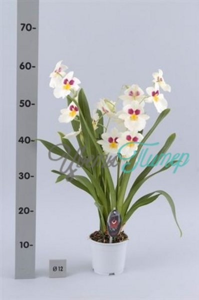 Miltoniopsis Herr Alexander with collar 2 branches