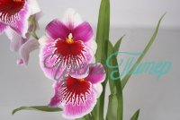 Miltoniopsis Lawles Falls with collar 2 branches