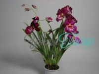 Miltoniopsis Newton Falls with collar 2 branches