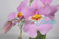 Miltoniopsis Stork Feather with collar 2 branches