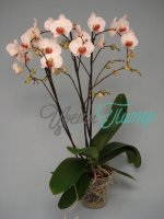 Phalaenopsis Achilles  2 branches branched