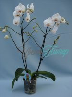 Phalaenopsis Alabaster red lip 2 branches branched