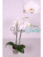 Phalaenopsis Amabilis white/yellow 2 branches