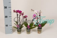 Phalaenopsis Calimero mix 2 branches