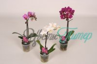 Phalaenopsis Calimero mix 9+ flowers