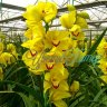 orchid_yellow_8.jpg