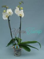 Phalaenopsis Cambridge white/yellow 2 branches