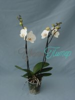 Phalaenopsis Corinthe white/yellow 2 branches branched